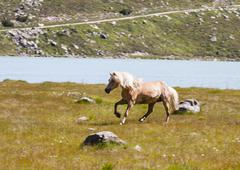 haflinger horse in the pitztal in austria - stock photo