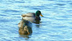 Mallard Ducks Swimming Fast in Frigid Cold Waters Stock Footage