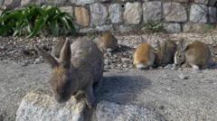Rabbits on Okunoshima in Japan Stock Footage