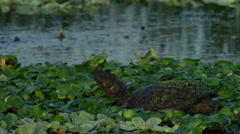 Common snapping turtle (Chelydra serpentina) in a swamp Stock Footage