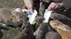Rabbits Being Fed on Okunoshima in Japan - stock footage