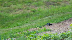 Magpie sneaking on garden Stock Footage