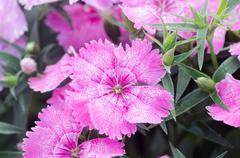 Dianthus chinensis (china pink) Stock Photos