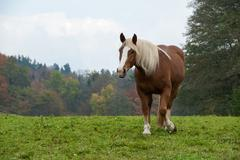 Horse Flaxen Chestnut Mare in a Fall Field Stock Photos