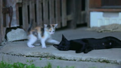Adorable little kitty playing with grown up cat Stock Footage