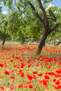 poppies in field - stock photo