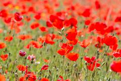 Poppies in field Stock Photos