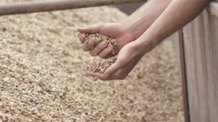 Close up of hands inspecting organic spelt grains Stock Footage