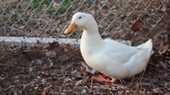 Handsome duck on a farm in Pennsylvania Stock Footage