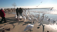 Close up of people feeding swans and seagulls on a beach Stock Footage