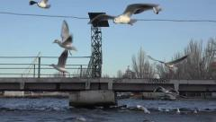 Seagulls flying over the waves of the river, many flock, HD Stock Footage