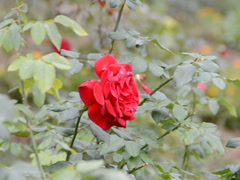Roses and garden. Related clips are in my portfolio in 1920x1080. Stock Footage