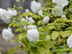 Bushes of flowers. Related clips are in my portfolio in 1920x1080. Stock Footage