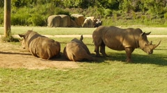 Three Rhinoceros resting in the shade 50p - Wide Shot Stock Footage