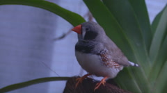 Wide Shot of Zebra Finch at Nikitsky Botanical Garden in Crimea, Ukraine. Stock Footage