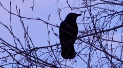 Black Bird, Crow, Raven - Silhouette On Tree Stock Footage