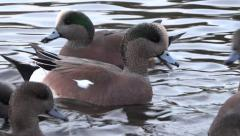 Widgeon Ducks On Wild Lake - 03 Stock Footage
