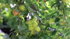 Immature cherry-plum Stock Footage