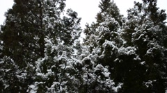 Thuja and snow Stock Footage