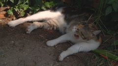 Wide Shot of a cat at Nikitsky Botanical Garden in Crimea, Ukraine. Stock Footage
