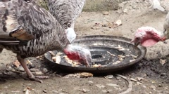 Pecking Turkey Stock Footage