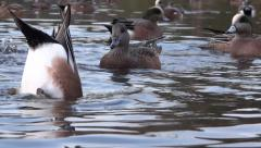 Widgeon Ducks On Wild Lake - 08 - Close-up Stock Footage