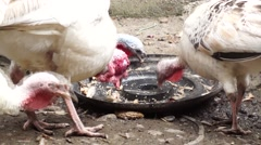 Turkey Pecking Stock Footage