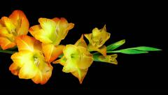 orange gladiolus flower blooming and fading timelapse - stock footage