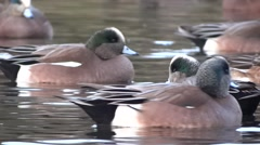 Widgeon Ducks On Wild Lake - 15 - Close-up Stock Footage