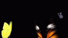 Three Butterflies flying together and camera view rotating and zoom in  Stock Footage