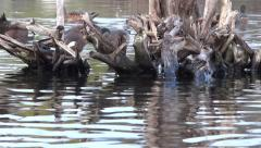 Widgeon Ducks On Wild Lake - 17 Stock Footage