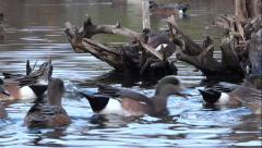 Widgeon Ducks On Wild Lake - 18 Stock Footage