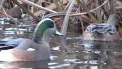 Widgeon Ducks On Wild Lake - 21 - Close-up Stock Footage