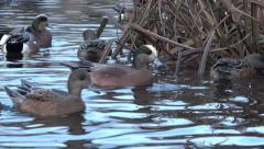 Widgeon Ducks On Wild Lake - 22 Stock Footage