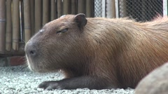 Capibara chilling on the ground Stock Footage