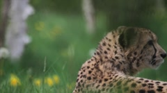 Cheetah head turn Stock Footage