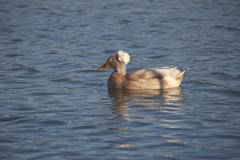 .crested duck - stock photo