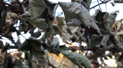 Dry vineyard leafs Stock Footage