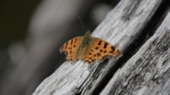 Large tortoiseshell butterfly on a wooden bridge railing Stock Footage
