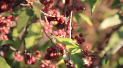 Sea buckthorn plentiful yield Stock Footage