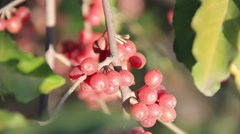 Sea buckthorn berries close-up Stock Footage