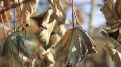Dry leafs on light breeze Stock Footage