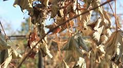 Dry vineyard in sunlight Stock Footage