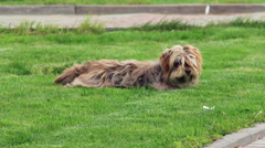 Shaggy dog on grass - stock footage