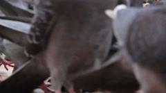 Pigeons hustle on the street - stock footage