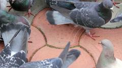 Pigeons eat seeds on the street Stock Footage