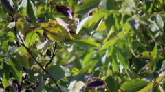 Walnut-tree leaves Stock Footage