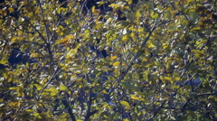 Yellow leafs on the tree Stock Footage
