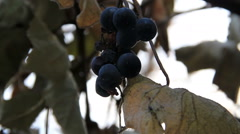 Few berry on dry vine - stock footage