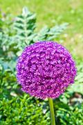 beautiful spring lilac allium surrounded with green leaves. - stock photo